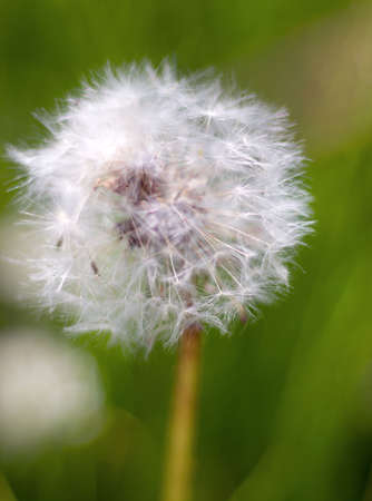 disperse: Dandelion seed head. year field flower.