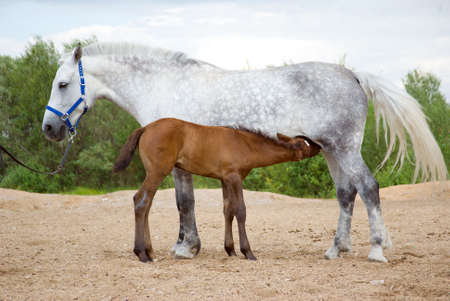 Young horse drinking milk from his mother . photo