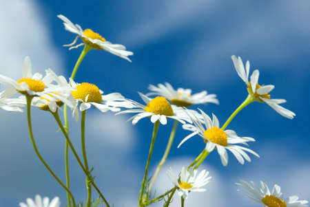 Beautiful summer. beautiful chamomiles on a sky background photo