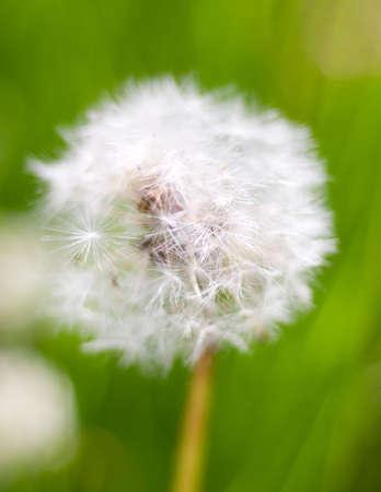 disperse: Dandelion seed head. year field flower.Shallow depth-of-field