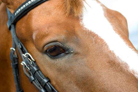 bridle: Horse portrait.Horse is bridle
