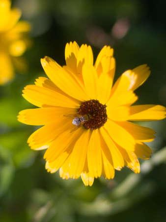 pot marigold: pot marigold (Calendula officinalis) field.Shallow depth-of-field.