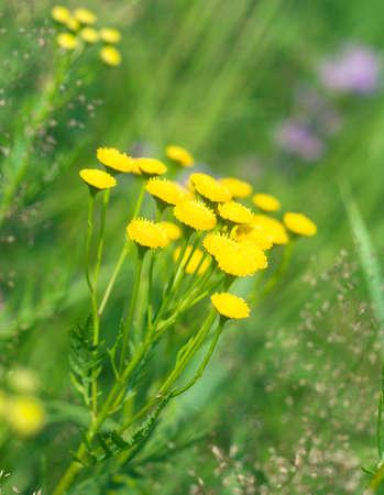 vulgare: Tansy (Tanacetm vulgare) flower  Stock Photo