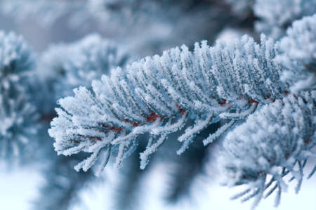 Winter frost on spruce tree  close-up .Shallow depth-of-field.  photo