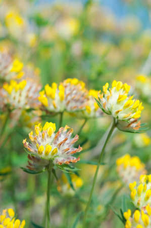 clover in the grass.Shallow depth-of-field. Stock Photo - 10670494