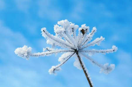Winter landscape.Winter scene .Frozenned flower photo