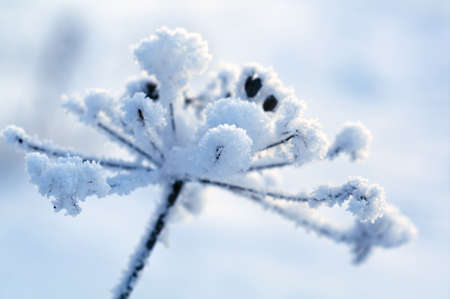 Winter landscape Winter scene  Frozenned flower Stock Photo - 12797385