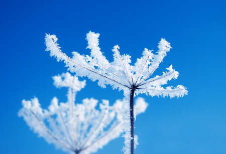 Frozenned flower on background blue sky Winter landscape photo