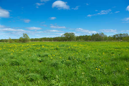 Field of dandelions,blue sky and sun.  photo