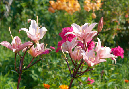 Pink lily in garden photo
