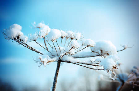 winter flower: Winter landscape.Winter scene .Frozenned flower Stock Photo