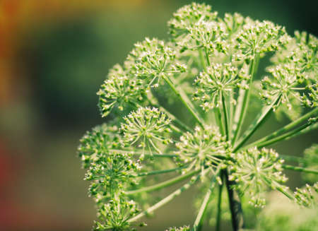 Angelica plan. Close-up  .Shallow depth-of-field.