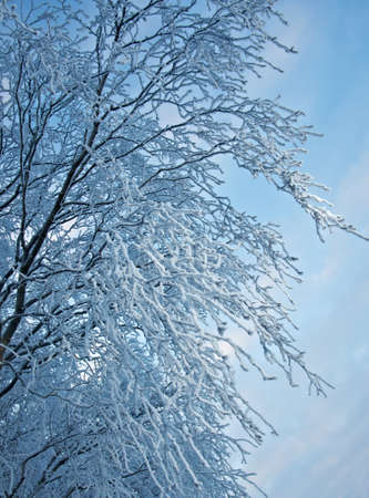 hoarfrost: Birch trees with hoarfrost on the branches . closeup