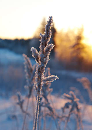 frozenned: Frozen flower pine and sunset