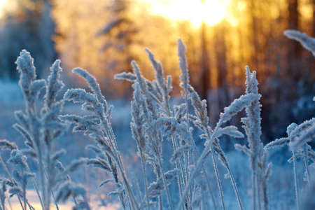 Frozen flower in pine forest and sunset