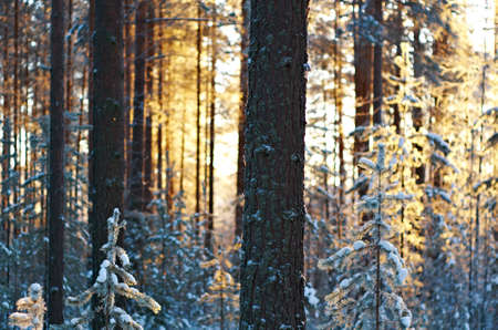 winter landscape with the pine forest and sunset photo