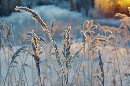 frozenned: Winter scene .Frozenned flower .pine forest and sunset Stock Photo