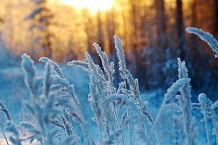 frozenned: Frozenned flower pine forest and sunset Stock Photo