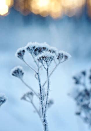frozenned: Winter landscape.Winter scene .Frozenned flower Stock Photo