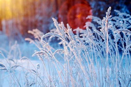 Winter scene .Frozenned flower .pine forest and sunset Standard-Bild
