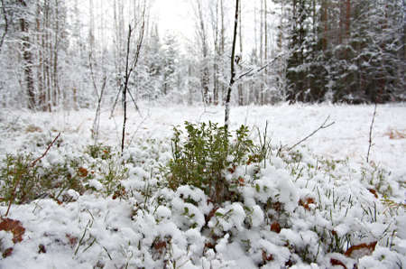 frozenned: Winter scene .Frozenned flower .pine forest Stock Photo