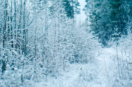 frozenned: Winter scene .pruce branches. snowy forest