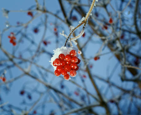 hoarfrost: Red berries of viburnum with hoarfrost on the branches . closeup