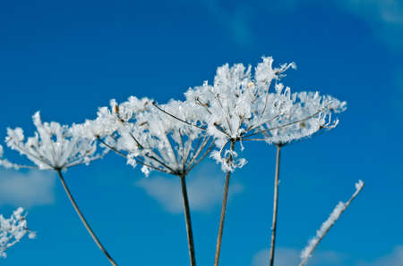 frozenned: Winter scene .Frozenned flower close up Stock Photo