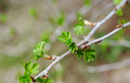 ribes: Young Leaf gooseberry,Ribes nidigrolaria. close up with washed away by back background