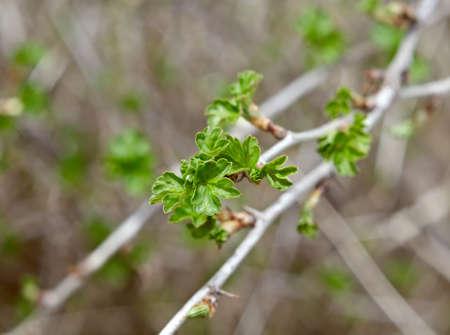 young leaf: Joven grosella Hoja, Ribes nidigrolaria. de cerca con arrastrados por el fondo de nuevo