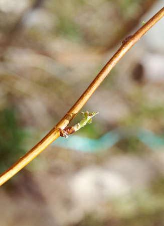 young leaf: Hoja joven raspberries.close con arrastrados por el fondo de nuevo