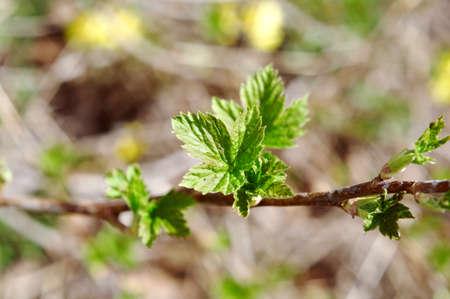 young leaf: Hoja joven blackberry.close con arrastrados por el fondo de nuevo