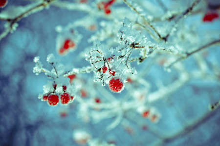 흰 서리: Red berries of viburnum with hoarfrost on the branches . closeup
