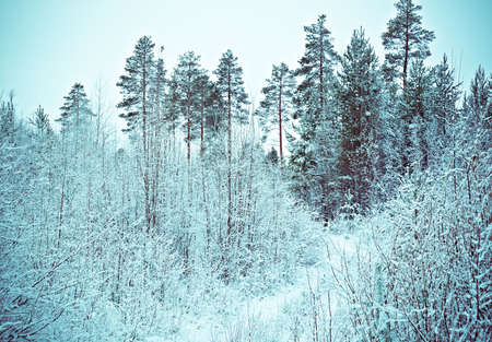 frozenned: Winter scene .Frozenned flower .pine forest Stock Photo