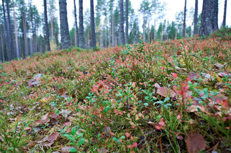 taiga: autumnal  dense forest landscape.Deep Taiga Forest.Russia Banque d'images