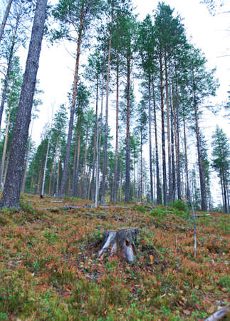 dense forest: autumnal  dense forest landscape.Deep Taiga Forest.Russia Stock Photo
