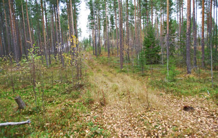dense forest: autumnal  dense forest landscape.Forest Road .Russia