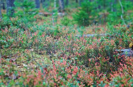 dense forest: autumnal  dense forest landscape.blueberry bushest.Russia
