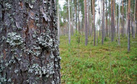 dense forest: autumnal  dense forest landscape.pine trunk close up .Russia