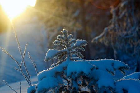 taiga: Winter landscape.frozen taiga forest