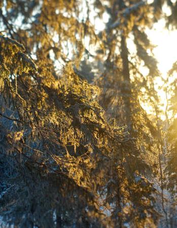 the taiga: Winter landscape.frozen taiga forest