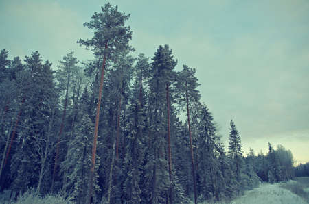 frozenned: Winter landscape.frozen taiga forest