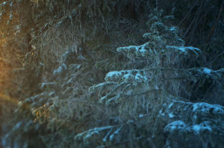 taiga: Winter landscape. frozen taiga forest