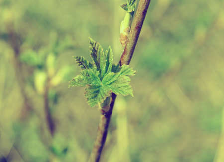 young leaf: Young Leaf  blackberry.close up with washed away by back background Stock Photo