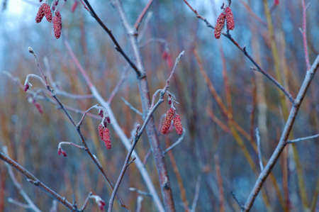 sexual reproduction: Alder twigs with hanging catkins outdoors in spring season. Shallow depth-of-field.