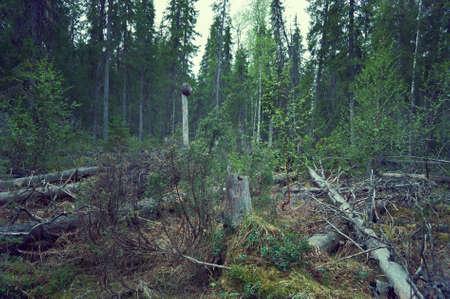 felled: Windbreak in taiga forest,felled trees