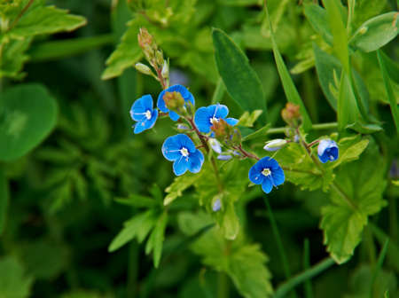 plantaginaceae: Veronica chamaedrys. herbaceous perennial species of flowering plant in the plantain family Plantaginaceae.