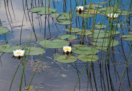 Water lilies in the water. Kenozerye. Arkhangelsk region, Russia