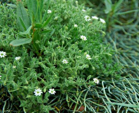 dichotoma: Stellaria dichotoma, near lake Baikal,  Russia