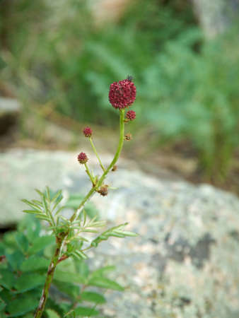sanguisorba: Sanguisorba officinalis  near lake Baikal,  Russia Stock Photo
